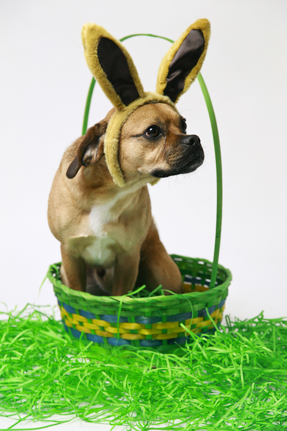 Is That a Puggle? Easter Edition   picklesnhoney.com #isthatapuggle
