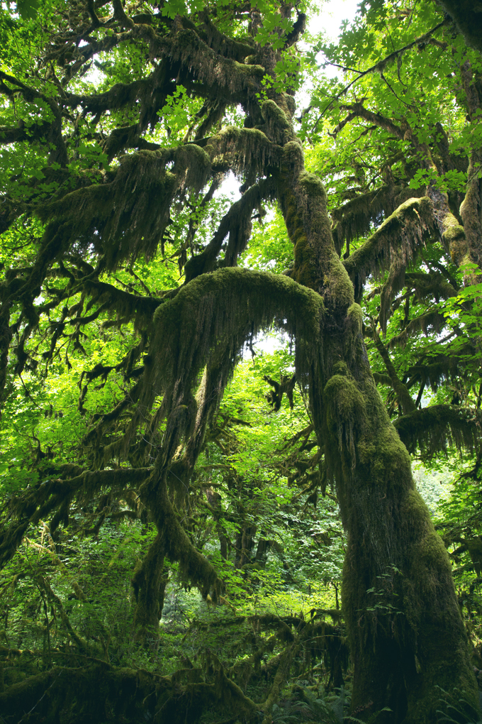 #PHroadtrip Week 9: Hoh Rainforest, WA   picklesnhoney.com